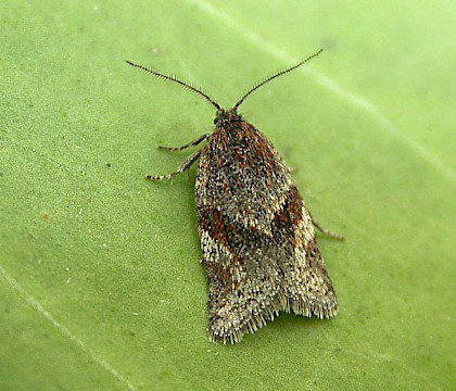 Philedonides lunana
