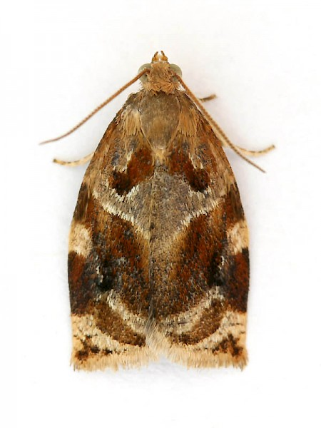 Variegated Golden Tortrix Archips xylosteana