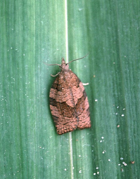 Dark Fruit-tree Tortrix Pandemis heparana