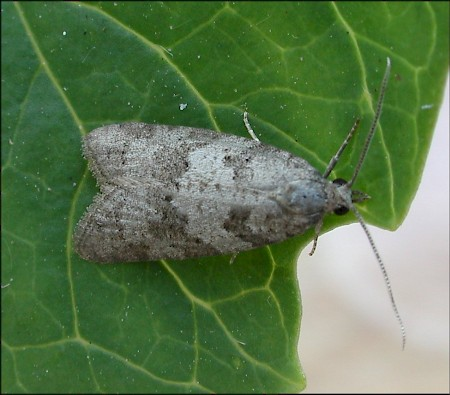 Light Grey Tortrix Cnephasia incertana