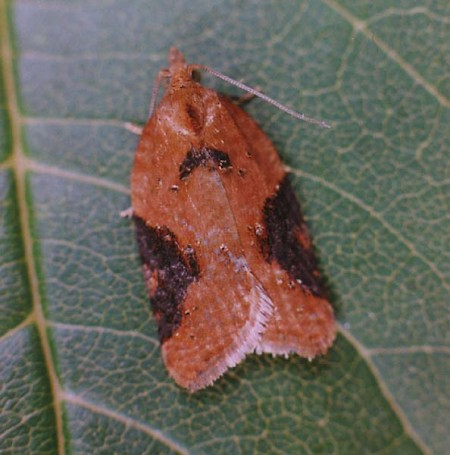 Strawberry Tortrix Acleris comariana