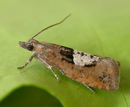 Epinotia brunnichana