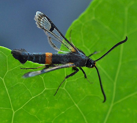 Large Red-belted Clearwing Synanthedon culiciformis