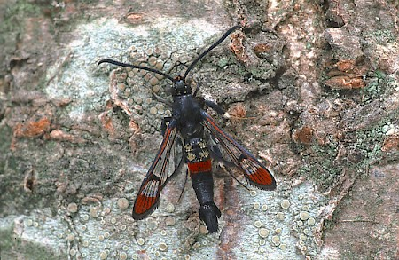 Red-tipped Clearwing Synanthedon formicaeformis
