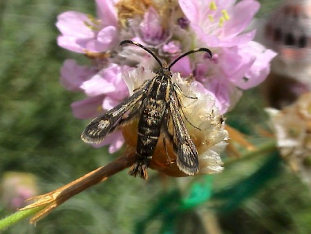 Thrift Clearwing Pyropteron muscaeformis