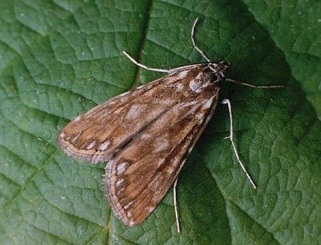 Brown China-mark Elophila nymphaeata