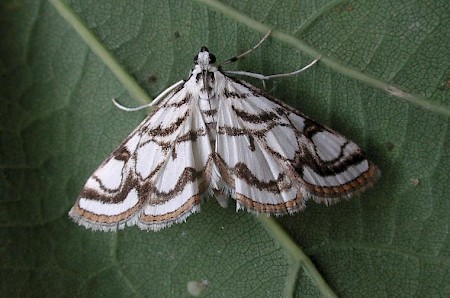 Beautiful China-mark Nymphula nitidulata