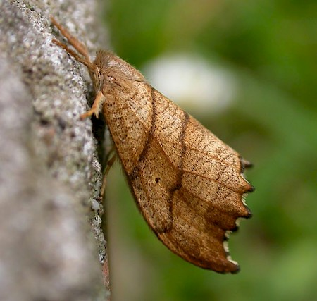 Scalloped Hook-tip Falcaria lacertinaria