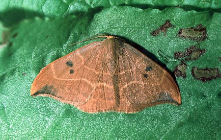 Oak Hook-tip Watsonalla binaria