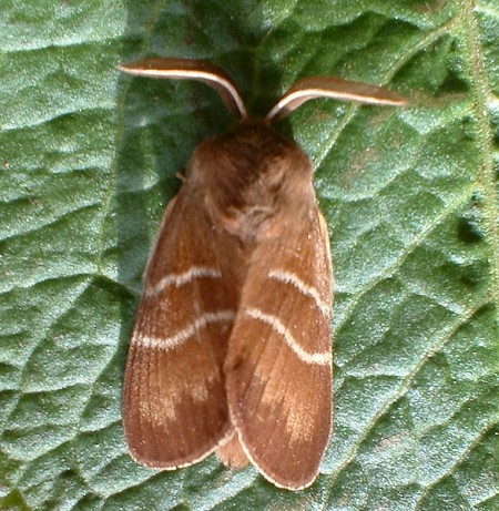 Fox Moth Macrothylacia rubi