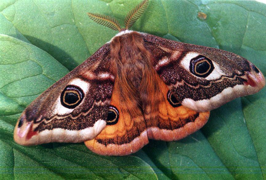 Emperor Moth Saturnia Pavonia Ukmoths
