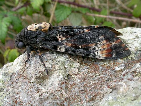 Death's-head Hawk-moth Acherontia atropos