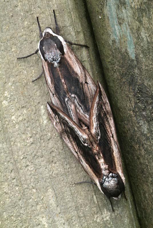 Privet hawk moth - photo#27