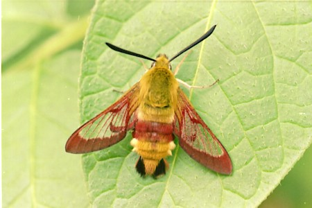 Broad-bordered Bee Hawk-moth Hemaris fuciformis