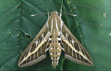 Striped Hawk-moth Hyles livornica