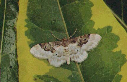 Least Carpet Idaea rusticata