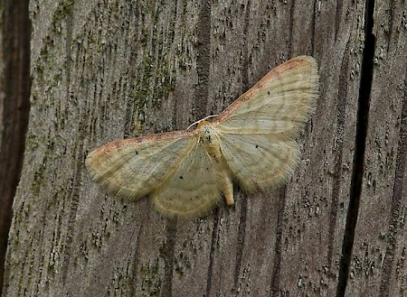Isle of Wight Wave Idaea humiliata