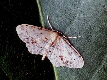 Single-dotted Wave Idaea dimidiata