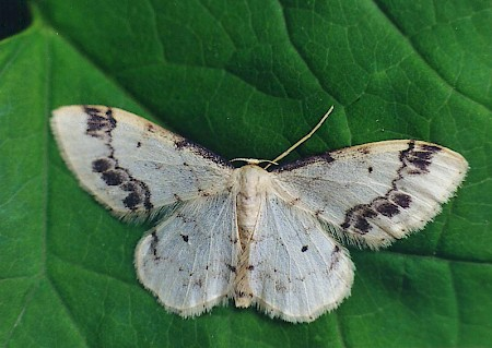 Treble Brown Spot Idaea trigeminata