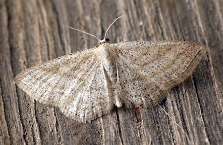 Streaked Wave Scopula virgulata