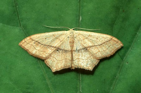 Small Blood-vein Scopula imitaria