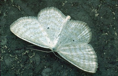 Lesser Cream Wave Scopula immutata