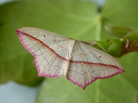 Blood-vein Timandra comae