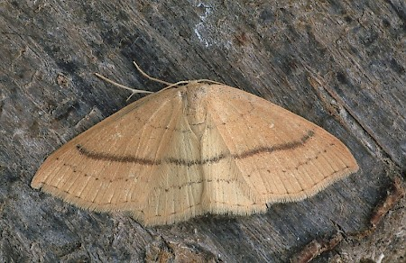 Clay Triple-lines Cyclophora linearia