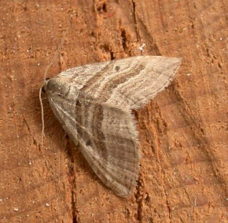 Oblique Striped Phibalapteryx virgata