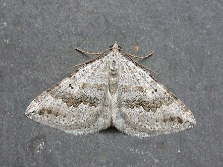Chalk Carpet Scotopteryx bipunctaria