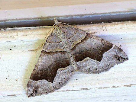 Fortified Carpet Scotopteryx moeniata