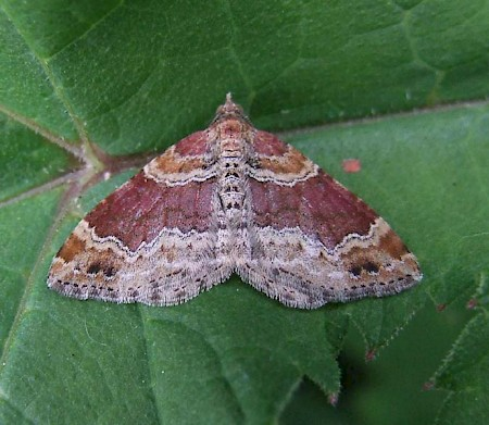 Red Twin-spot Carpet Xanthorhoe spadicearia