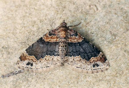 Dark-barred Twin-spot Carpet Xanthorhoe ferrugata