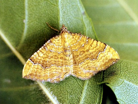 Yellow Shell Camptogramma bilineata
