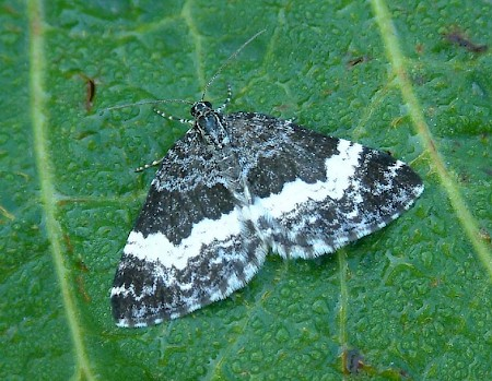 White-banded Carpet Spargania luctuata