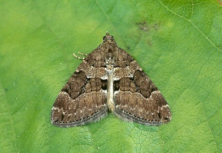 Chestnut-coloured Carpet Thera cognata