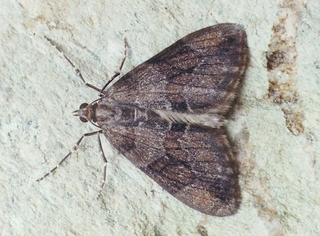 Grey Pine Carpet Thera obeliscata