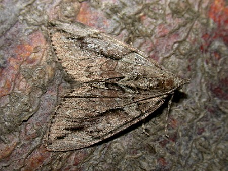Cypress Carpet Thera cupressata