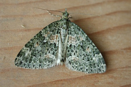 Autumn Green Carpet Chloroclysta miata