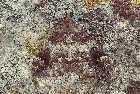 Common Marbled Carpet Dysstroma truncata