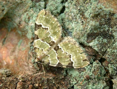 Green Carpet Colostygia pectinataria