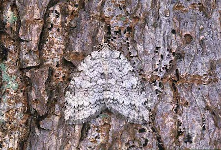 Pale November Moth Epirrita christyi