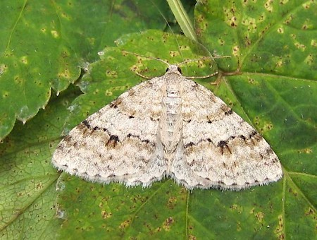 Welsh Wave Venusia cambrica
