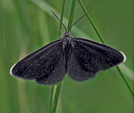 Chimney Sweeper Odezia atrata