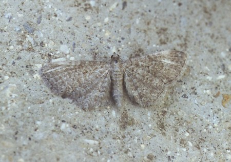 Lead-coloured Pug Eupithecia plumbeolata