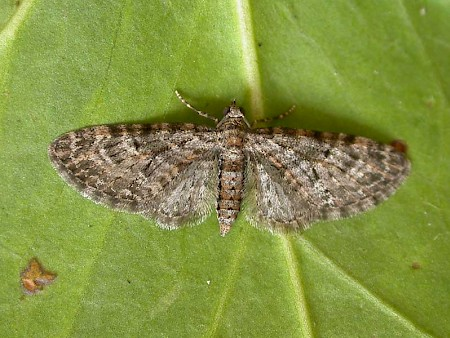 Oak-tree Pug Eupithecia dodoneata