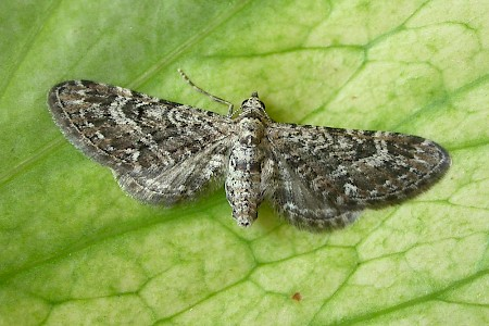 Narrow-winged Pug Eupithecia nanata