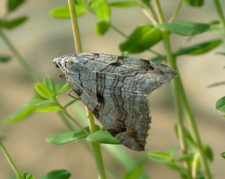 Treble-bar Aplocera plagiata