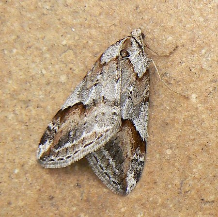 Broom-tip Chesias rufata