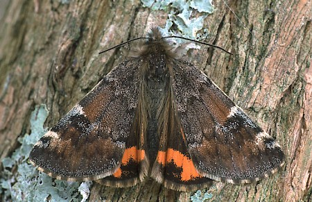 Orange Underwing Archiearis parthenias